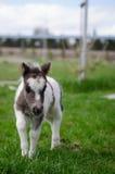 Mini cheval nain à une ferme mini cheval de poulain Photographie stock
