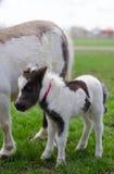 Mini cheval nain à une ferme mini cheval de poulain Photographie stock libre de droits