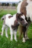 Mini cheval nain à une ferme mini cheval de poulain Images libres de droits