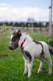 Mini cheval nain à une ferme mini cheval de poulain image libre de droits