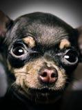 Mini chihuahua eccellente Immagine Stock Libera da Diritti