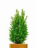 Mini Christmas tree. Real Mini Christmas tree with glitter in a pot isolated on white Royalty Free Stock Image
