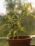 Mini cierre del tomate encima de la fotografía fotografía de archivo
