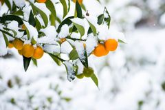Mini citrus orange fruit and leaves covered with snow royalty free stock photo