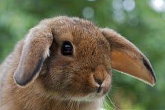 Mini coelho novo do Lop Imagem de Stock
