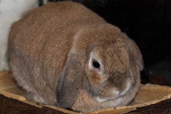 Mini coniglio dalle orecchie pendenti del Fawn Fotografie Stock Libere da Diritti
