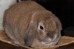 Mini coniglio dalle orecchie pendenti del Fawn Immagine Stock
