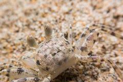 Mini crabe Photo stock