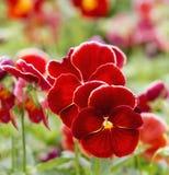Mini czerwień kwiaty Fotografia Stock