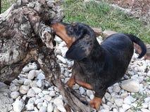 Mini dachshund foto de archivo libre de regalías