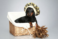 Mini dachshund in cap, portrait Stock Images