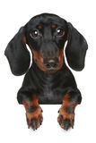 Mini dachshund. Close-up portrait Stock Photography