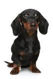 Mini dachshund en un fondo blanco Fotografía de archivo libre de regalías