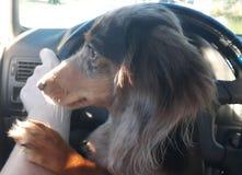 Mini dachshund observing it all stock photo