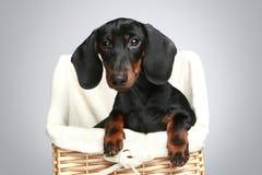 Mini dachshund, verticale images libres de droits