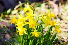 Mini daffodils Zdjęcie Royalty Free