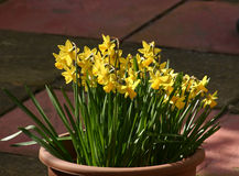 Mini daffodils. Spring miniature daffodils growing in a pot Royalty Free Stock Image