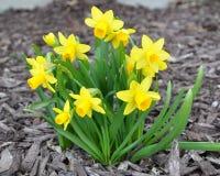 Mini Daffodils Royalty Free Stock Photo