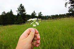 Mini Daisies imagens de stock