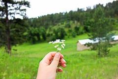 Mini Daisies foto de archivo libre de regalías
