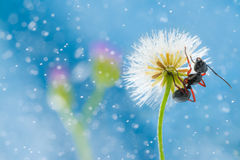 Mini dandelion with ant Royalty Free Stock Photography