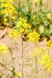 Mini del fiore giallo nel parco di spiaggia di Hitachi Immagine Stock Libera da Diritti