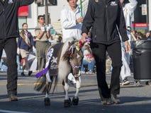 Mini demostración del caballo en Rose Parade famosa Fotos de archivo