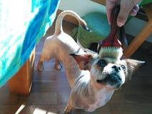 Petite dog enjoying brushing royalty free stock image