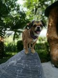 Mini dog on a top of a rock royalty free stock images