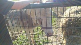Mini Donkey photo libre de droits