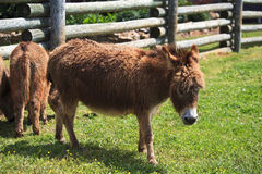 Mini Donkey Stock Photo