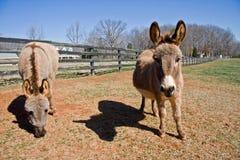 Mini Donkeys Royalty Free Stock Image