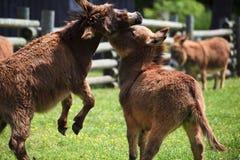 Mini Donkies Playing Stock Photos