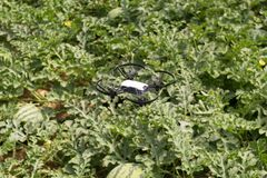 Mini drone flying in a greenhouse on a watermelon crop. Also in agriculture, utility is sought for drones. To begin with, you have to set the flight techniques royalty free stock photos