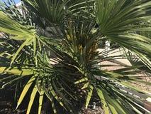 Mini drzewko palmowe fotografia royalty free