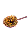Mini durian fruit Stock Image