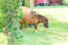 Mini dwarf horse in farm. Stock Image