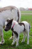 Mini dwarf horse at a farm. foal mini horse. Royalty Free Stock Photography