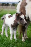 Mini dwarf horse at a farm. foal mini horse. Royalty Free Stock Images