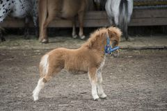 Mini dwarf horse in a pasture at a farm. Stock Image