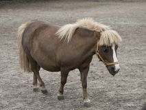 Mini dwarf horse in a pasture at a farm. Royalty Free Stock Image