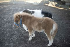 Mini dwarf horse in a pasture at a farm. Stock Photo