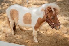 Mini dwarf horse Royalty Free Stock Image