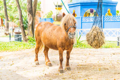 Mini dwarf horse in a pasture at a farm Royalty Free Stock Photography
