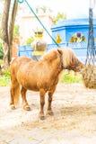 Mini dwarf horse in a pasture at a farm. Mini dwarf horse (pony) in a pasture at a farm Stock Photos