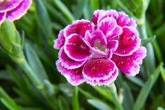 Mini fiore del garofano della bacca porpora con il colpo di macro delle gocce di acqua fotografia stock libera da diritti