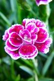 Mini fiore del garofano della bacca porpora con il colpo di macro delle gocce di acqua fotografie stock libere da diritti