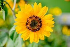 Mini fiore del sole Fotografie Stock Libere da Diritti