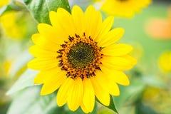 Mini fiore del sole Immagine Stock Libera da Diritti