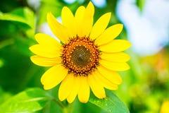 Mini fiore del sole Fotografia Stock